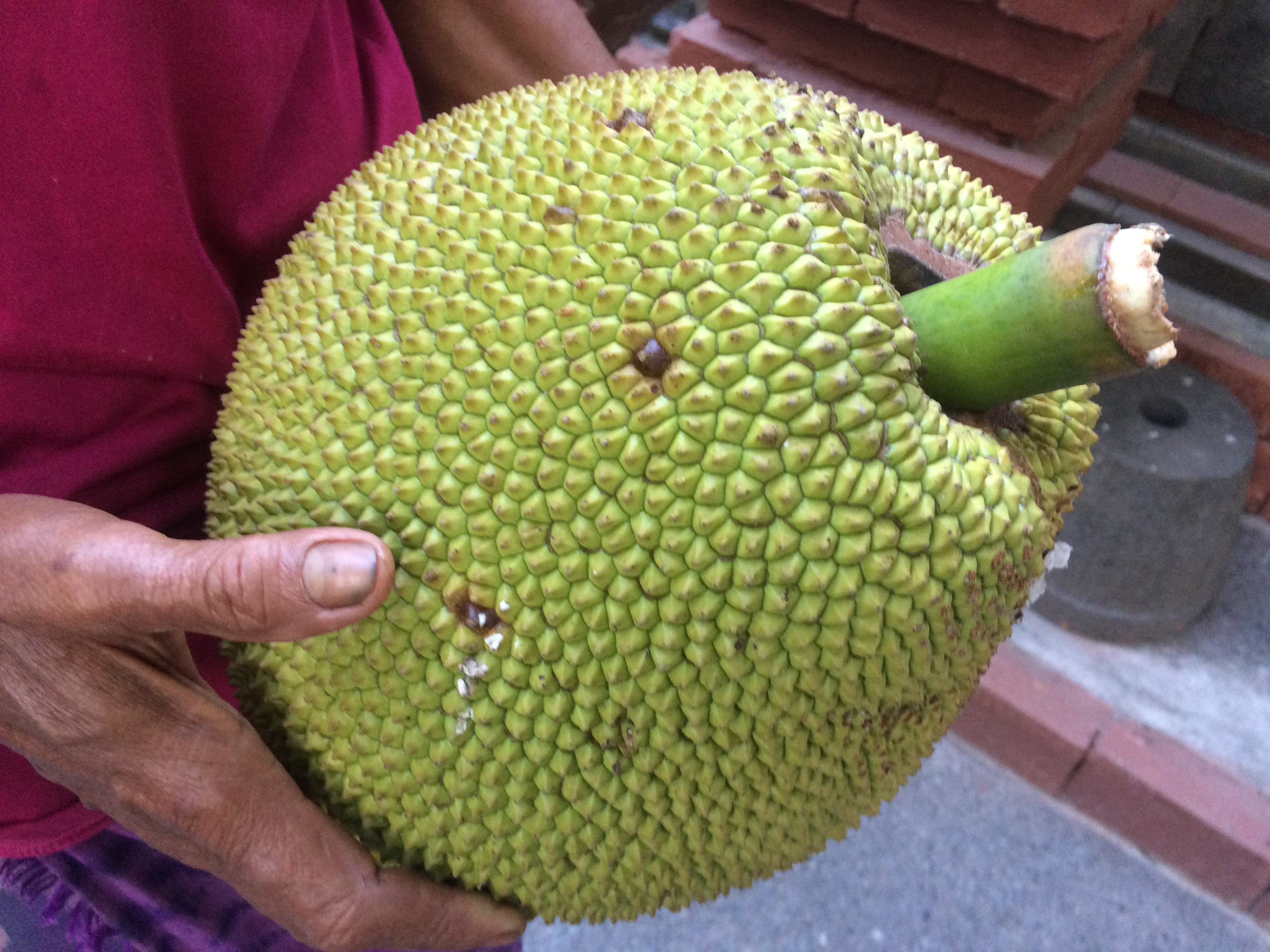 Freshly picked jackfruit!